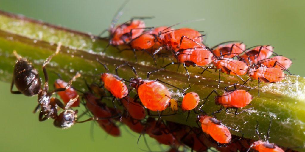 Muurahainen lypsämässä kirvoja